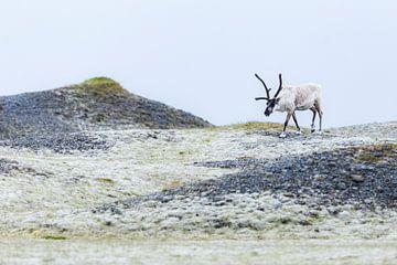 Les rennes en Islande sur Daniela Beyer