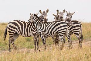 Afrika   Zebra's op de savanne 2 - Afrika Kenia Masai Mara