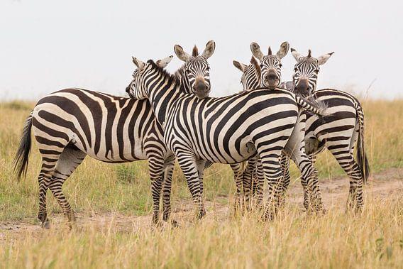 Afrika   Zebra's op de savanne 2 - Afrika Kenia Masai Mara van Servan Ott