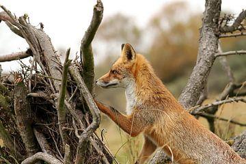 Jonge vos op de uitkijk van Yvonne van Dormolen