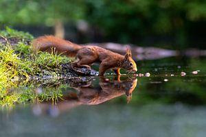 Eichhörnchen mit Reflexion
