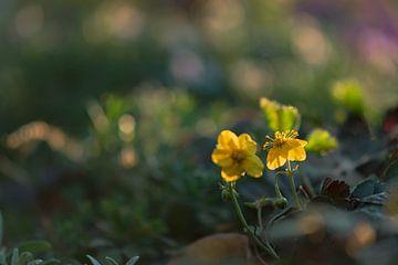gele bodembloemetjes van Tania Perneel