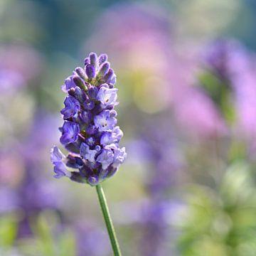 Lavendel von