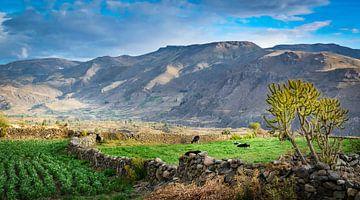 Kühe lassen im Tal von Coporaque, Peru weiden von Rietje Bulthuis
