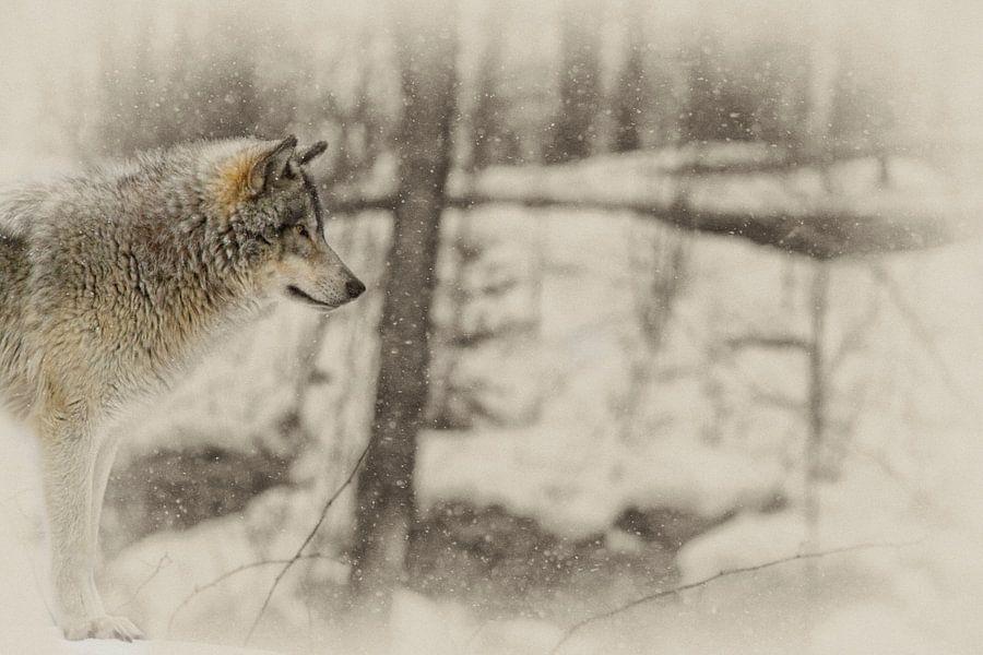 """Loup Gris """"profil"""" van Renald Bourque"""