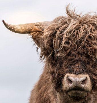 Portret van een Schotse Hooglander van Ans Bastiaanssen