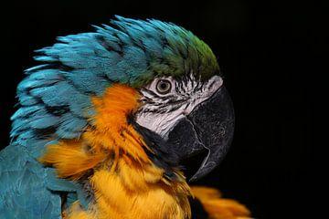Macaw von Tazi Brown