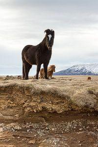 Pony's  op IJsland (staande versie) van Hans Brinkel