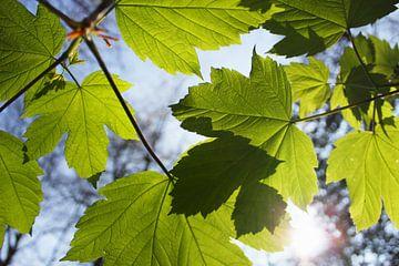 Groene Esdoorn bladeren in de lente met invallend zonlicht van Maarten Pietersma
