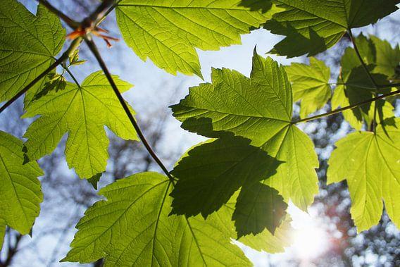 Groene Esdoorn bladeren in de lente met invallend zonlicht