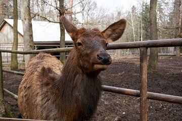 Altai Maral Wapitis Hirsch schaut in die Kamera von creativcontent
