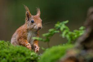 Portret van een rode eekhoorn