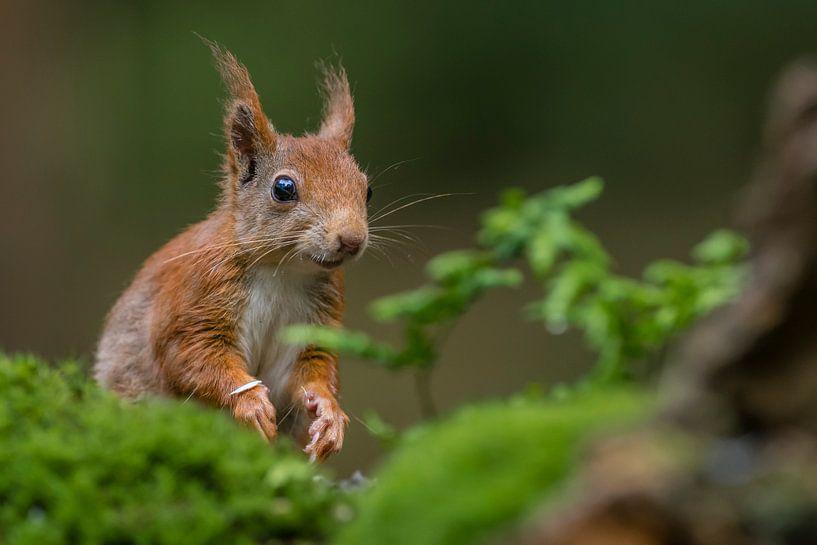 Portret van een rode eekhoorn van Richard Guijt