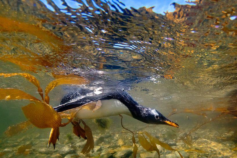 Zwemmende pinguïn van Jos van Bommel