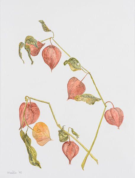 Oranje lampionplant, aquarel van Marlies Huijzer. origineel ca 20x25 cm van Martin Stevens