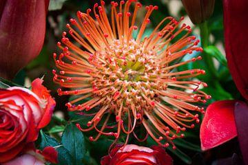 Nadelkissen (Leucospermum Cordifolium) von Eric van der Gijp