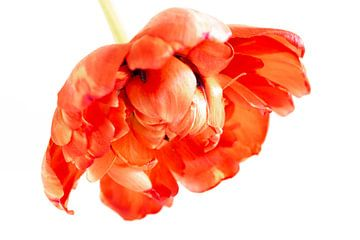 Rote Pfingstrose Tulpe von Monique van Helden