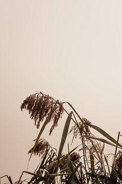 Schilf an einem nebligen Herbstmorgen von Oog in Oog Fotografie