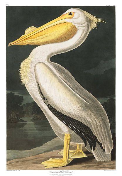 Witte Pelikaan van Birds of America