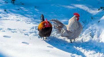 Hühner laufen im Schnee von Simon van Nispen