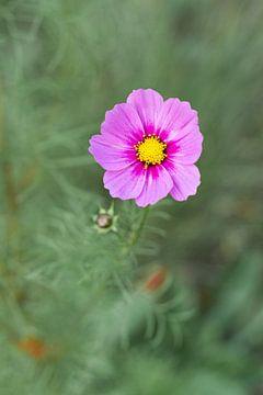 Bunte violett/rosa Feldblume auf ruhigem Hintergrund von Michel Geluk