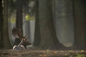 Fallow Deer ( Dama dama ) lying / resting on the ground of a hazy light flooded forest van wunderbare Erde