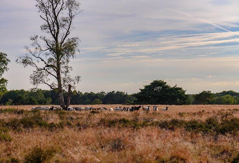 Herde auf der Heide von Tania Perneel