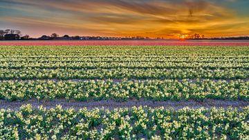 Bloeiende bloembollenvelden tijdens de zonsopkomst van eric van der eijk