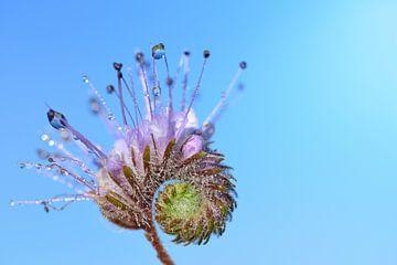 Lila Blüte mit Wassertropfen von Ulrike Leone