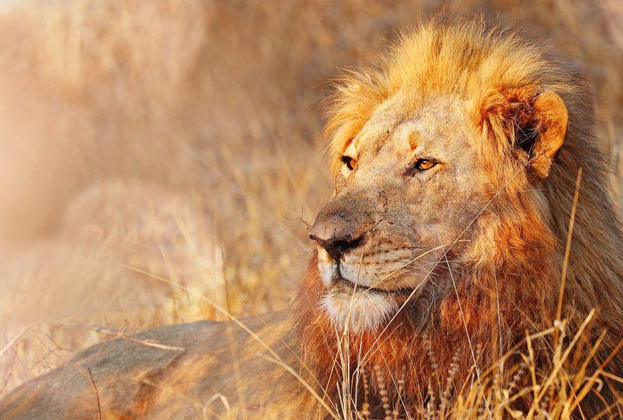 Löwe im Abendlicht, Südafrika von W. Woyke