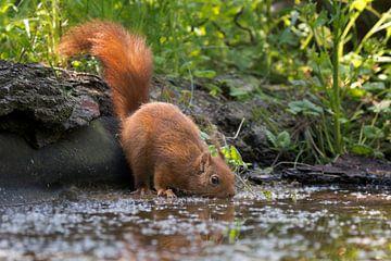 Rode eekhoorn drinkend van Carla Odink