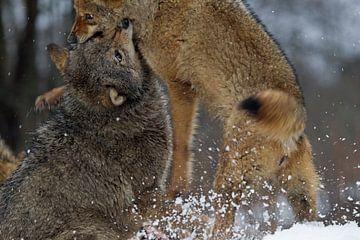 vechtende wolven van