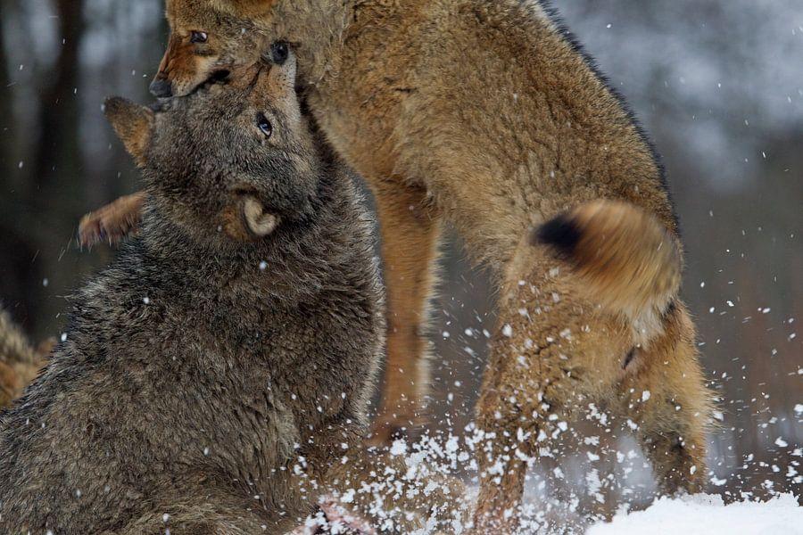 vechtende wolven