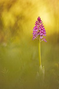wilde Orchideen III
