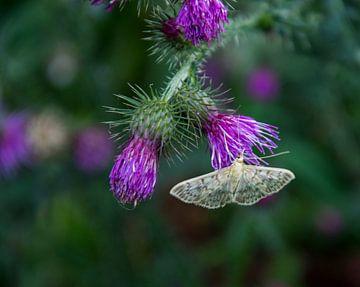 Vlinder doet zich tegoed aan de nectar van Helma de With