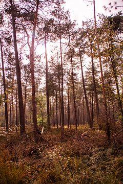 Herfstglorie van de Veluwe - Bos nr. 1