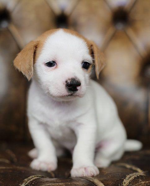 Boomer pup van MSP Canvas