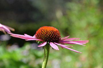 Echinacea Purpurea Paarse Zonnehoed van R Verhoef