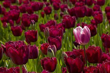 Paarse  tulpen van Barbara Brolsma