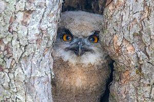 Petit hibou grand-duc dans un arbre creux sur Michelle Peeters