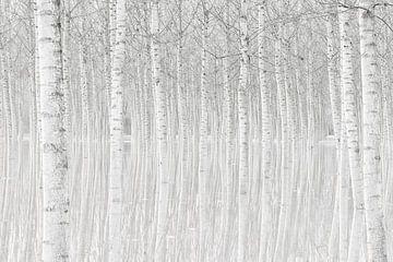 Bäume, Aglioni Simone von 1x