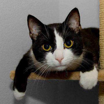 Valt er wat te zien? Europesche korthaar zwart witte felix kat von noeky1980 photography