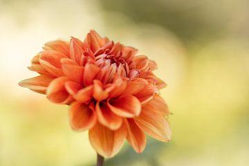 Orangene Dahlie von Isabel van Veen