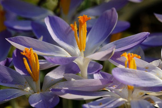 blauwpaarse met oranje boerencrocus in de zon