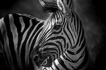 Zebra in Südafrika von Theo van Woerden