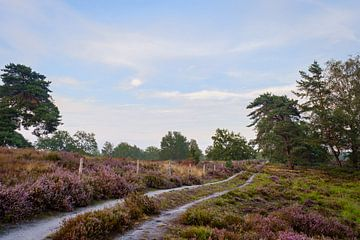 Blühendes Heidekraut auf der Haagdoornheide von Johan Vanbockryck