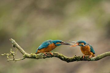 Kingfisher von Freddy Van den Buijs