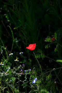 Mohnblume von Thomas Jäger