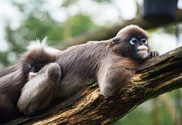 Sleepy monkey von Cilia Brandts