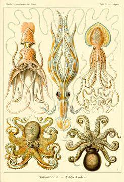 Gamochoniae - Ernst Haeckel